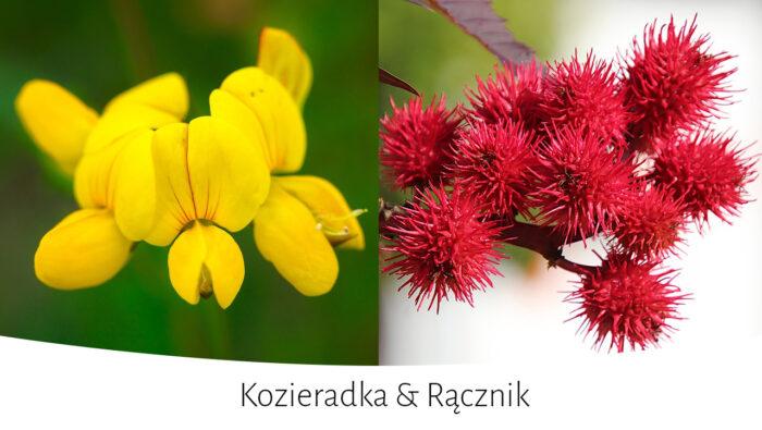 Kwiat kozieradka i rącznik